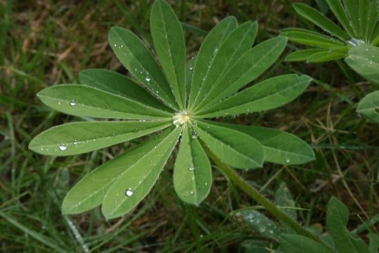Planze mit Wassertropfen auf den Blättern