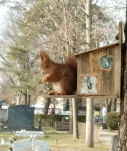 Rotes Eichhörnchen an Eichhörnchenfutterstation
